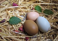 The Chicken Chick: When Will a Hen Begin Laying Eggs? What to Expect