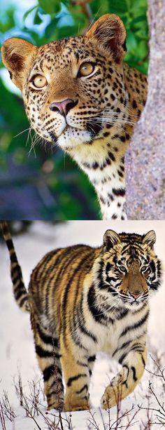 Beautiful Cats, Animals Beautiful, Big Cats, Cute Cats, Animals And Pets, Cute Animals, Jungle Cat, Beautiful Creatures, Pet Birds