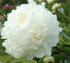 ~Albatre - Herbaceous Peony / Paeonia