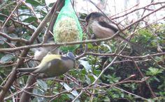 Codibugnoli e cinciarella -  Foto-diario di una giardiniera curiosa