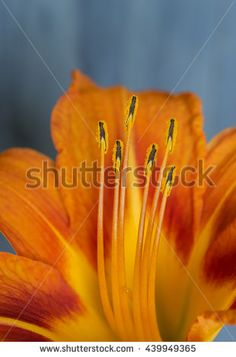 Orange lily on blue background Image ID:439949365 Copyright: Alina Craita