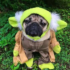 The #Pug is a breed of #dog with physically distinctive features of a wrinkly, short-muzzled face, and curled tail. The breed has a fine, glossy coat that comes in a variety of colours, most often fawn or black, and a compact square body with well-developed muscles.