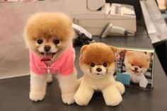 This dog is named Boo, she is actually the worlds cutest dog, hence the reason why their is a stuffed animal that looks just like her. She is a Pomeranian, full grown. She is adorable!