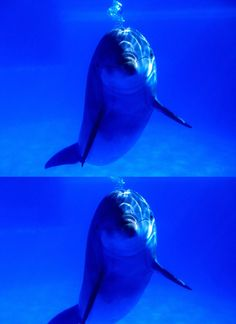 Blue, underwater, breathing, animals, cute, photography, bubbley, dottlenose dolphin, nature, dolphins