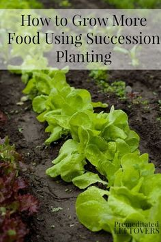kitchen garden How to Use Succession Planting to Grow More Food - An introduction to using succession planting and succession planting schedules for various vegetables. Succession Planting, Companion Planting, Planting Vegetables, Growing Vegetables, Growing Tomatoes, Growing Lettuce, Home Vegetable Garden, Veggie Gardens, Organic Gardening Tips