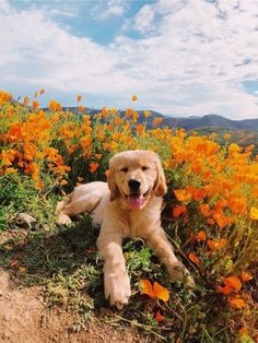 "Excellent ""Golden Retriever dogs"" info is readily available on our site. Check it out and you wont be sorry you did. Cute Funny Animals, Cute Baby Animals, Animals And Pets, Funny Dogs, 9gag Funny, Wild Animals, Golden Retrievers, Golden Retriever Puppies, Labrador Retriever"