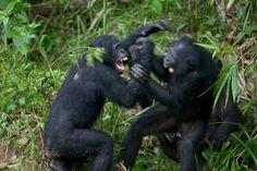 剛果共和國的一處動物收容所中,兩隻倭黑猩猩正在大打出手。PHOTOGRAPH BY CYRIL RUOSO, MINDEN PICTURES, NATIONAL GEOGRAPHIC CREATIVE