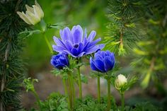 Anemone, Hahnenfußgewächs, Bloom
