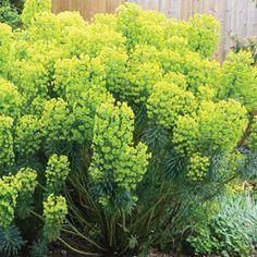 Euphorbia Wulfenni