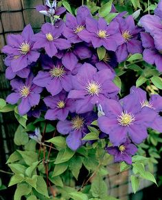 Clematis 'General Sikorksi'. Large, dark lavender blooms display red tints in full sun. Contrasting cream colored anthers further highlight this tough, free flowering climber from Polish breeder Brother Stefan Franczak. An excellent cut flower. Size: 8'-10' tall.. Bloom time: Midsummer to early fall. Plant zones: 4-9.  PRUNE GROUP 2