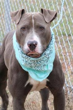 ADOPTED>NAME: Tellar  ANIMAL ID: 34103586  BREED: Pit mix  SEX: male  EST. AGE: 2 yr  Est Weight: 63 lbs  Health: Heartworm neg  Temperament: dog friendly, people friendly  ADDITIONAL INFO: RESCUE PULL FEE: $35  Intake date: 11/30 Available: 12/6