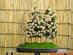 Chrysanthemum bonsai from Viet Nam. Amazing!