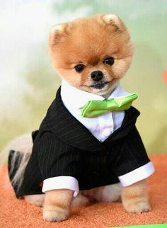 Precioso Boo, lindo cachorrito