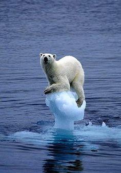 polar bear by Antonella Fanelli