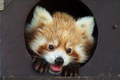 un bébé panda