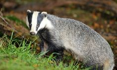 Another 1,000 badgers to be killed in Somerset and Gloucestershire by Supertrooper http://focusingonwildlife.com/news/another-1000-badgers-to-be-killed-in-somerset-and-gloucestershire/
