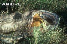 rock python
