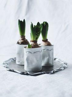 Forcing bulbs in tin cans