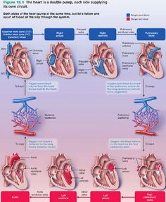 The most amazing & thorough visual explanation of [Blood Flow Through the Heart] that I have ever seen. : The most amazing & thorough visual explanation of [Blood Flow Through the Heart] that I have ever seen. Nursing Tips, Nursing Notes, Nursing Career, Cardiac Nursing, Human Anatomy And Physiology, Cardiac Anatomy, Respiratory Therapy, Medical Assistant, Medical Information