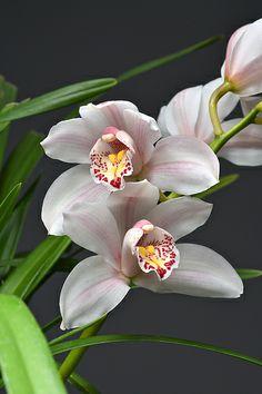Cymbidium Melody Fair Orchid Plants, Exotic Plants, Exotic Flowers, Tropical Flowers, Wood Flowers, Green Flowers, Most Beautiful Flowers, Pretty Flowers, Melody Fair