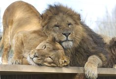 I love it when we get to snuggle and cuddle up!I don't mind those humans with their three legged clicky things as im so relaxed! Mundo Animal, My Animal, Beautiful Cats, Animals Beautiful, Big Cats, Cats And Kittens, Animals And Pets, Baby Animals, Lion And Lioness