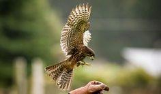 nz falcon - Google Search