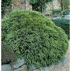 Monrovia 2.8-Gallon Dwarf Japanese Cedar Foundation/Hedge Shrub