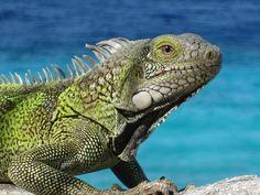 We have massive iguana's here and call them 'juana'