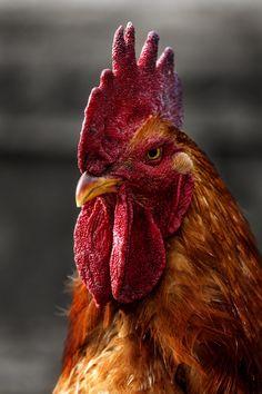 rooster by Sergey Kartavitsky / Food For Chickens, Cute Chickens, Chickens And Roosters, Chickens Backyard, Rooster Painting, Rooster Art, Chicken Painting, Chicken Art, Chicken Pictures