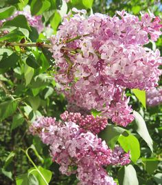 How I miss lilacs in the spring.