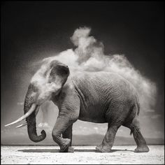 "hirethestache: "" Grey Nick Brandt's photographs of African animals and landscapes are both epic and iconic. It's a vision of Africa that we have not seen before. The photographs of Nick Brandt are. Nick Brandt, Photo Elephant, Elephant Love, Elephant Walk, Alabama Elephant, Elephant Images, Beautiful Creatures, Animals Beautiful, Cute Animals"