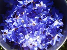 Borage – High in omega 3 fatty acids, beautiful borage is excellent for dry skin, problem skin, acne, and mature skin. Keeps the skin youthful and fresh.