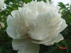 купить  морозостойкое растение пион рока,оптом семена пиона рока,интернет магазин пиона рока Растения