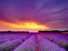 Lavender fields Provence | via hdw.backgroundswallpapers.info