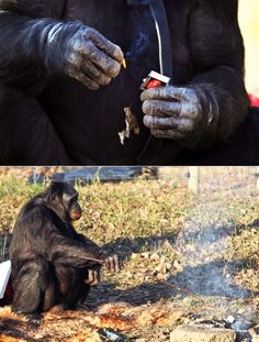 """According to Dr Sue Savage-Rumbaug of the Great Ape Trust in Des Moines, Kanzi, a 31-year-old bonobo in her care, became fascinated with making fire after watching the film Quest for Fire when he was only a year old.    """"The movie was released about a year after Kanzi was born and was about early man struggling to control fire,"""" says Dr.  Savage-Rumbaugh. """"Kanzi watched this spellbound over and over hundreds of times.""""    The chimp soon began collecting firewood and attempting to ignite it…"""
