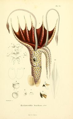 """Histioteuthis bonnellii / Umbrella Squid from """"Molluscs and fossil fuels"""", 1845 by Alcide d'Orbigny"""
