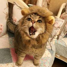 I am a lion.  i roarz.  ro..... ar!