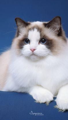 15 Fantastiche Immagini Su Gatti Ragdoll Nel 2019 Beautiful Cats