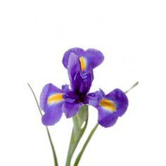 use great grandma's flowers Purple Iris