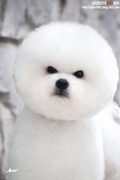 Bichon Frise  It looks like an angry teddy bear                                                                                                                                                     More