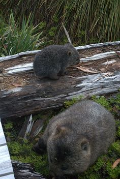 Wombats at Cradle Mountain