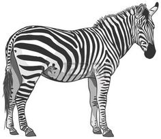 Zebra: Isolated Plains Zebra Illustration