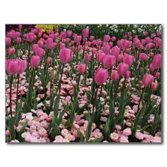 Nature - Pink Tulips, Floriade, Canberra Carte Postale
