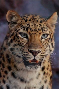 Amur Leopard VII CFZ by hoboinaschoolbus on DeviantArt Jungle Animals, Nature Animals, Animals And Pets, Cute Animals, Jaguar, Leopardo Amur, Beautiful Cats, Animals Beautiful, Big Cats Art