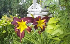 Maroon Spider seedling from Daylilies and More August blooms weak but loaded
