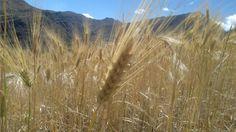Chacra de cebada en el pueblo San José de Illauro. Ancash-Perú.