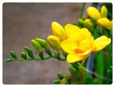 꽃봉우리 | 프리 지아의 꽃 봉우리 가 활짝 열리듯