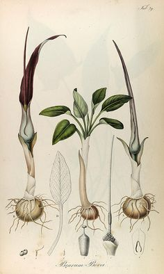 Rumphia, sive, Commentationes botanicæ¦ imprimis de plantis Indiæ¦ Orientalis. Lugduni Batavorum [Leiden, the Netherlands] :[s.n.],1835-48.