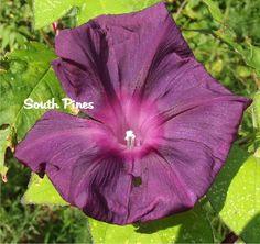"Nearly Black ""Kokuyo"" Japanese Morning Glory Seeds - ipomoea nil -  ஐƸ̵̡Ӝ̵̨̄Ʒஐ"