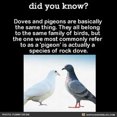 Doves and pigeons are basically the same thing. They all belong to the same family of birds, but the one we most commonly refer to as a 'pigeon' is actually a species of rock dove. Source Source 2 This is a rock dove… The More You Know, Good To Know, Wtf Fun Facts, Strange Facts, Crazy Facts, Random Facts, Interesting Information, Interesting Facts, Bird Facts